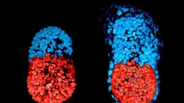 primo_embrione_artificiale.jpg